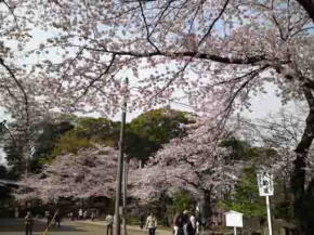thousands of cherry blossoms in Hokekyoji