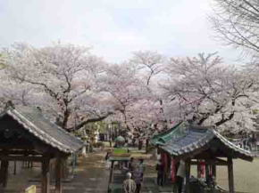 cherry blossoms from Soshido Hall