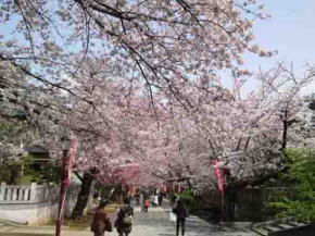 lined cherry trees along the approach
