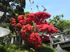 red azaleas beside the wooden bridge