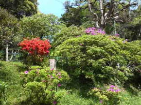 azaleas blooming in the green plants