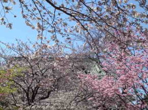 cherry blossoms over the roof of Niomon