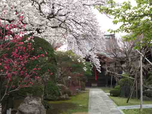 sakura blossoms fully blooming in Chisein