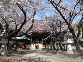 cherry blossoms in front of the Soshido Hall