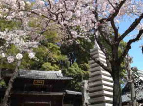 cherry blossoms and the stone pagoda