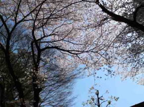 cherry blossoms, woods and the sky
