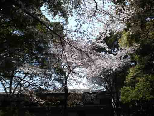 cherry blossoms behind Aragyodo Hall