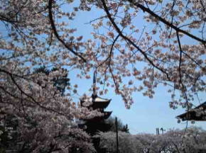 gojyu-no-to and cherry blossoms over the roof