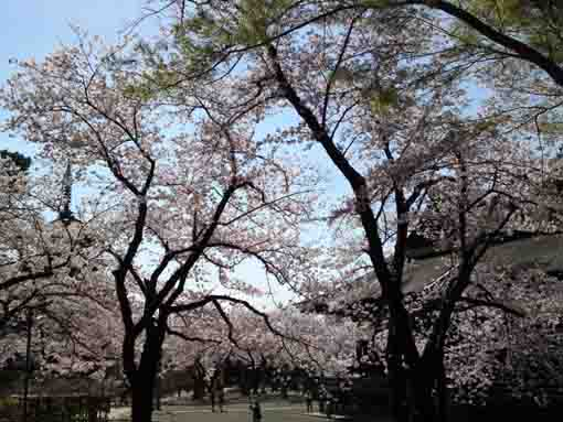 sakura between the gojunoto and the soshido