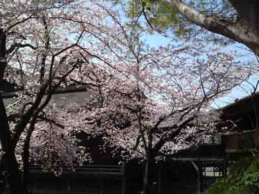 sakura blooming by the Soshido