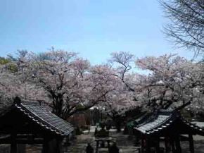 the approach and cherry blossoms