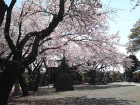 cherry trees in front of Soshico