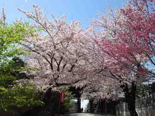 full of cherry blossoms in front of Niomon
