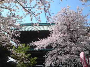 Cherry blossoms in Hokekyo-ji approach