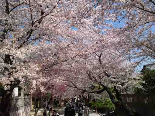 cherry blossoms along the approach