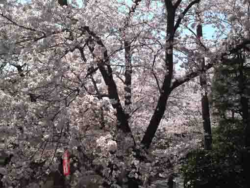 full blooming cherry blossoms at Niomon
