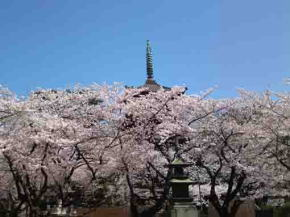 gojyu-no-to in cherry blossoms