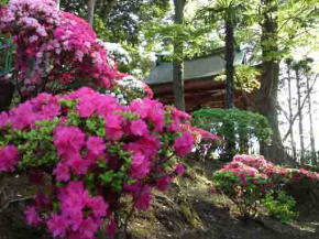violed azaleas blooming on the hill