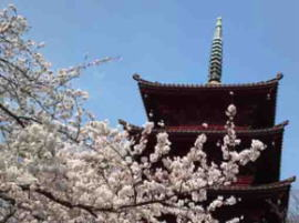 cherry blossoms and gojyu-no-to