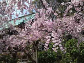 droop cherry blossoms in Hokekyo-ji