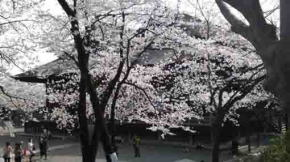 Soshi-do and cherry blossoms
