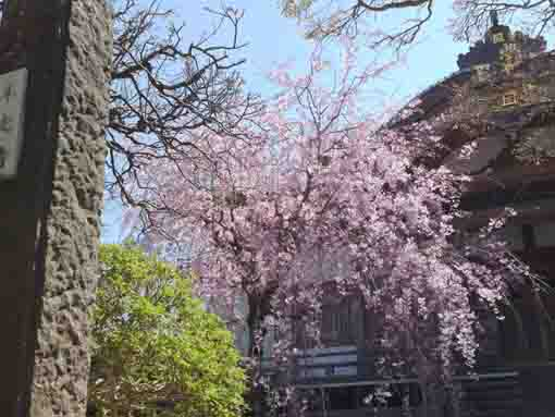 viewing sakura in Honkoji by the gate