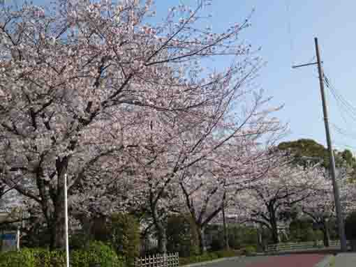 cherry trees lining along a road