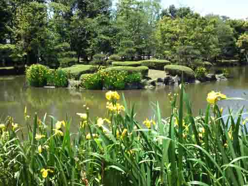 yellow irises in Junsaiike Pond