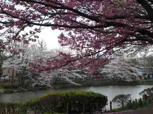 cherry blossoms and Junsaiike Pond