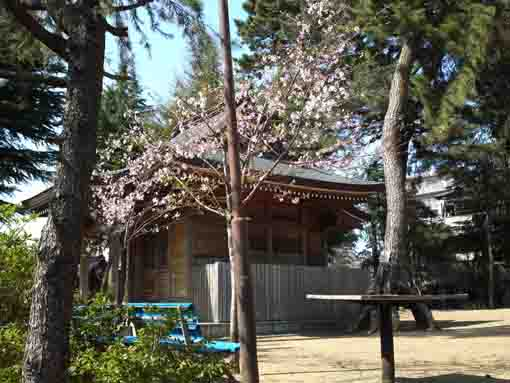 cherry blossoms in Kasuga Jinja in Shinden