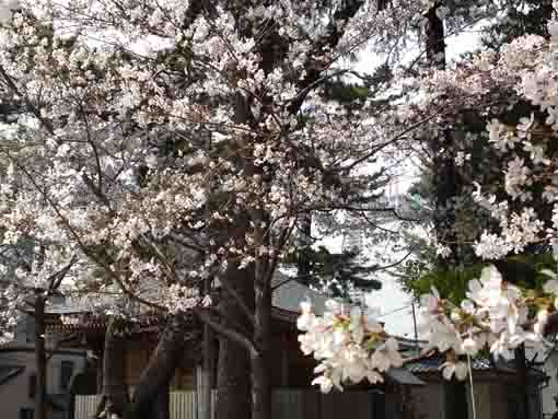 cherry blossoms fully blooming