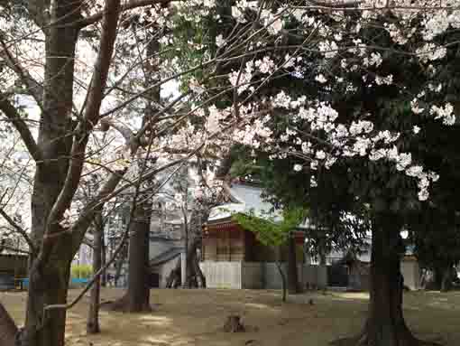 cherry blossoms blooming in Kasuga Jinja