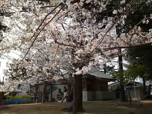 cherry blossoms and the main hall