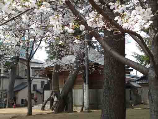 cherry blossoms and black pine trees