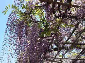 the wisteria in the sky