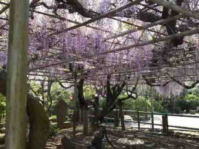 the wisteria trellis of Choju Fuji