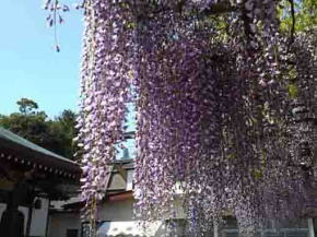 long wisteria tresses of Choju Fuji