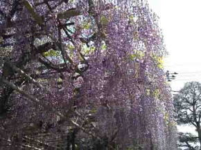 long wisteria tresses in spring