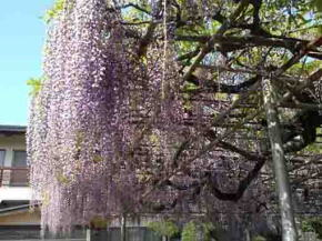 the large wisteria tree in Koenji Temple