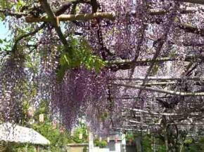 wisteria blossoms in Koenji