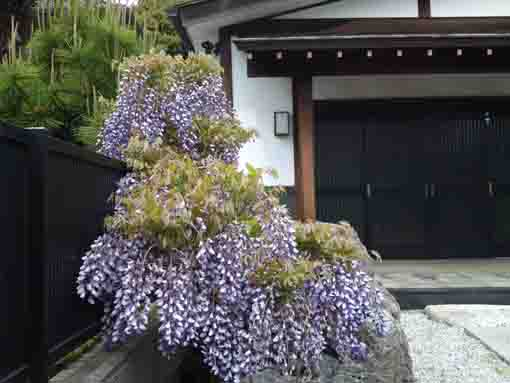 small wisteria blossoms by the door