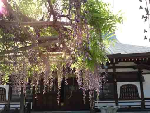 wisteria lit by the strong sun shine