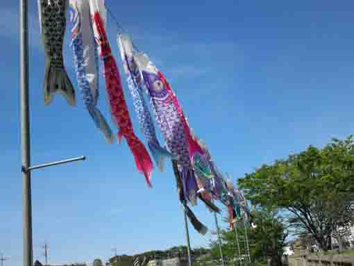 koinobori flags in Kozato Park ④