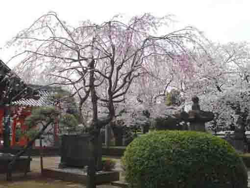 the wheeping cherry trees at Kokubunji