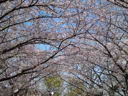 cherry blossoms in the blue sky