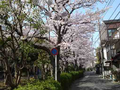 lined cherry trees along Komatsugawa