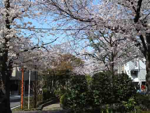 full blooming sakuras in Komatsugawa