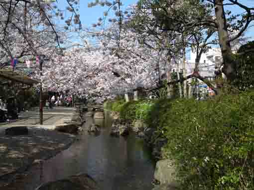 cherry blossoms over Komatsugawa