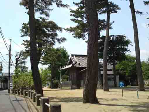 black pine trees in Koroku Jinja in Shinden
