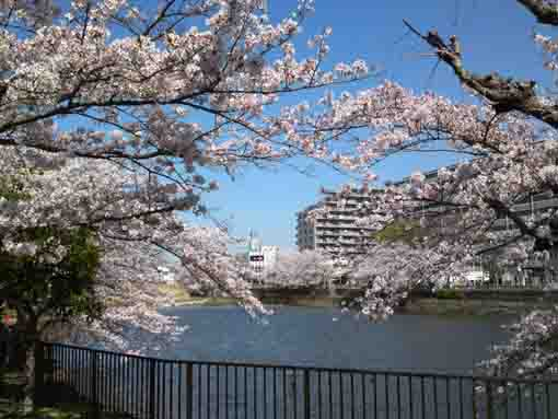 cherry blossoms in Kozato Koen Park